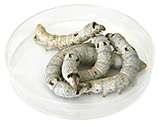 Large Silkworms